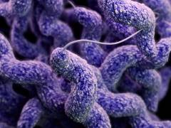 Kingston University study reveals how food poisoning bacteria Campylobacter uses other organisms as Trojan horse to infect new hosts