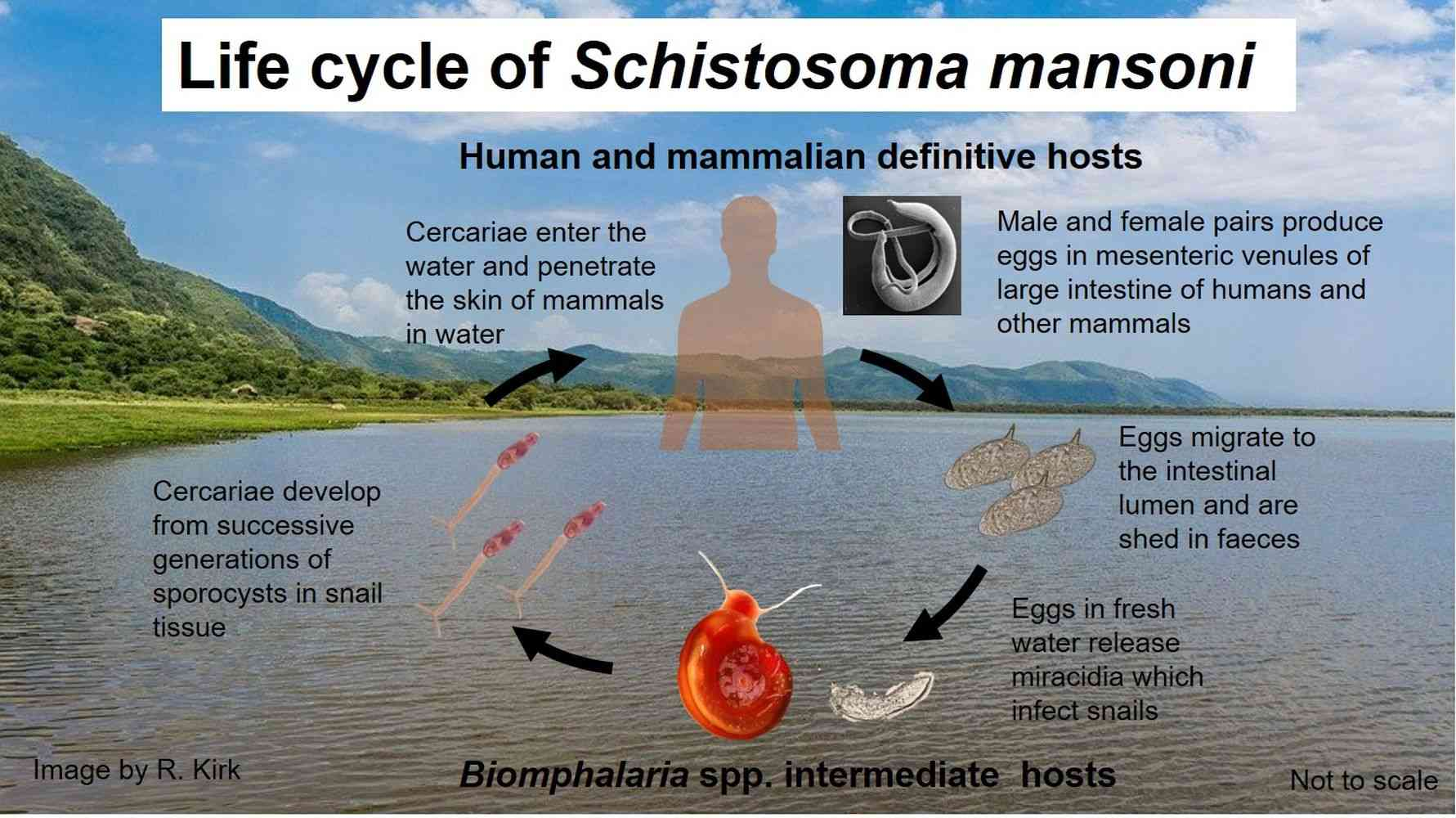 Life cycle of Schistosoma mansoni - an agent of human schistosomiasis - Human schistosomiasis is an acute and chronic disease that affects over 200 million people, prevalent in tropical and subtropical areas of the world.