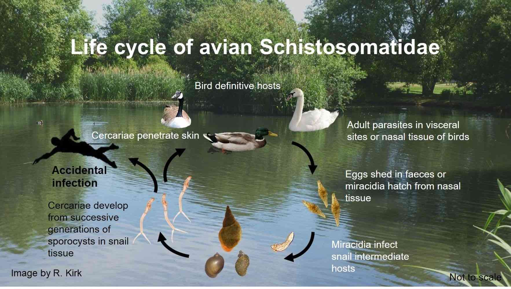 Life cycle of avian Schistosomatidae parasites - Avian schistosomatid parasites cause pathology in a variety of birds and are agents of human cercarial dermatitis.