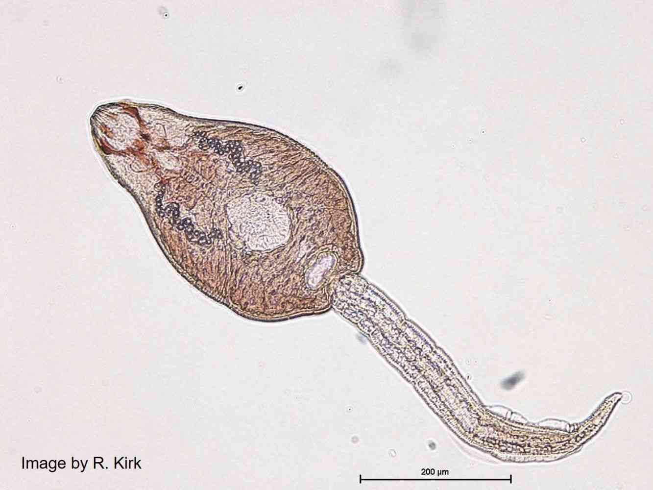 Cercaria of Echinostoma revolutum, an echinostome parasite - Echinostoma revolutum is distributed worldwide, but only causes disease when raw or undercooked second intermediate hosts (e.g. fish, molluscs, frogs) are traditionally eaten as in E and SE Asia.