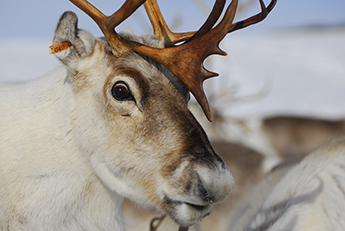 Reindeers' eyes have adapted to the harshness of their natural habitat.